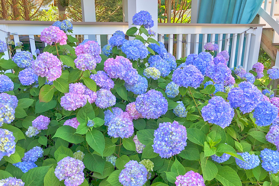 Belmar Beach House Vacation Rentals | Blue Hydrangea Cottage | Belmar NJ