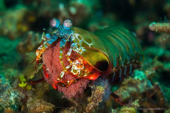 Odontodactylus scyllarus - also known as the peacock mantis shrimp, harlequin mantis shrimp, painted mantis shrimp, clown mantis shrimp or rainbow mantis shrimp