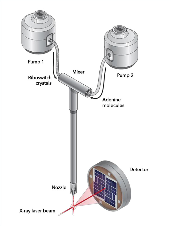 In a newly developed device, riboswitch crystals and adenine molecules were pumped into a mixing chamber, where they were allowed to interact for carefully timed intervals before being injected into the path of the X-ray laser beam. The X-rays bounced off the riboswitch molecules and into a detector, recording any changes in riboswitch structure that took place. Credit: Joseph Meyer, National Cancer Institute