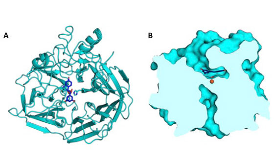The crystal structure of NOV1, a stilbene cleaving oxygenase, shows the features of this enzyme at atomic resolution. (A) This protein fold view highlights the placement of an iron (orange), dioxygen (red), and resveratrol, a representative substrate (blue) in the active site of the enzyme. (B) This surface slice representation shows the shape of the active site cavity and the arrangement of iron, dioxygen, and resveratrol. (Credit: Ryan McAndrew/JBEI and Berkeley Lab)