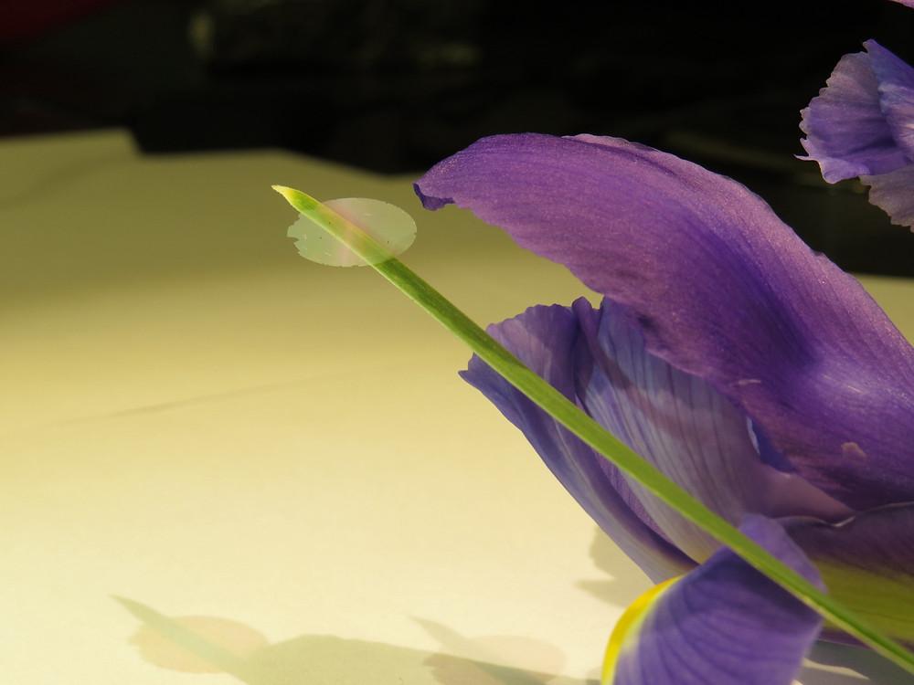 A piece of nanocardboard balancing on an iris leaf.