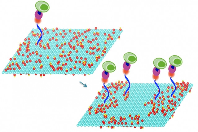 Mild heating of graphene oxide sheets makes it possible to bond particular compounds to the sheets' surface, a new study shows. These compounds in turn select and bond with specific molecules of interest, including DNA and proteins, or even whole cells. In this image the treated graphene oxide on the right is nearly twice as efficient at capturing cells as the untreated material on the left.  Courtesy of the researchers