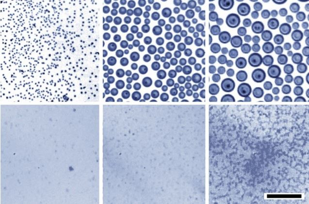 Optical images demonstrate that when water droplets condense on an oil bath, the droplets rapidly coalesce to become larger and larger (top row of images, at 10-minute intervals). Under identical conditions but with a soap-like surfactant added (bottom row), the tiny droplets are much more stable and remain small.  Courtesy of the researchers