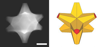 A scanning electron transmission microscope image shows an octopod, left, created at Rice University that has both plasmonic and catalytic abilities. At right is an illustration of the octopod, which has a gold core and a gold-palladium alloy surface. The scale bar is 50 nanometers. Courtesy of the Ringe Group/Rice University