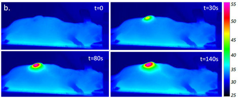 Infrared images showing laser irradiation of nanotube-injected tumor in an anaesthetized mouse. The bar on the right indicates surface temperatures (°C). © Iris Marangon