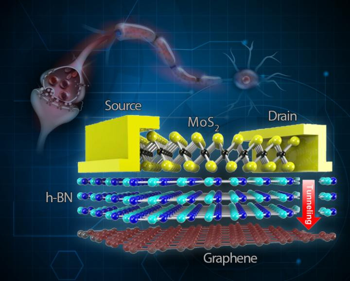 In the junctions (synapses) between neurons, signals are transmitted from one neuron to the next. TRAM is made by a stack of different layers: A semiconductor molybdenum disulfide (MoS2) layer with two electrodes (drain and source), an insulating hexagonal boron nitride (h-BN) layer and graphene layer. This two-terminal architecture simulates the two neurons that made up to the synaptic structure. When the difference in the voltage of the drain and the source is sufficiently high, electrons from the drain electrode tunnel through the insulating h-BN and reach the graphene layer. Memory is written when electrons are stored in the graphene layer, and it is erased by the introduction of positive charges in the graphene layer. @ IBS