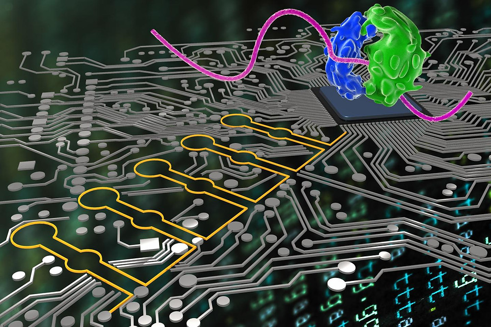 """Similar to how computer scientists use logical language to have their programs make accurate AND, OR and NOT decisions towards a final goal, """"Ribocomputing Devices"""" (stylized here in yellow) developed by a team at the Wyss Institute can now be used by synthetic biologists to sense and interpret multiple signals in cells and logically instruct their ribosomes (stylized in blue and green) to produce different proteins. @ Wyss Institute at Harvard University"""