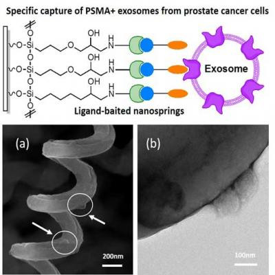 Figure a shows captured exosomes on ligand-baited nanosprings, the exosomes are indicated by the arrows. Figure b shows a TEM image of captured exosomes following negative staining with phosphotungstic acid (PTA) PH = 7.1. @ Springer Science+Business Media New York 2017
