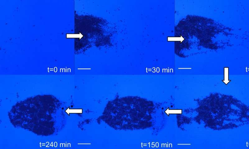 Using the new method, the researchers gather the particles of interest into an organized structure at the point of light. When the light is moved to a new location, the particles move toward the new point of light, as depicted in this video (these video screenshots). SEN LAB, PENN STATE
