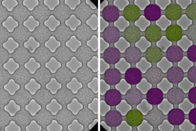 As bacteria stream through a microfluidic lattice, they synchronize and swim in patterns similar to those of electrons flowing through a magnetic material. This image shows a microfluidic 6x6 lattice. The left-hand side shows the original data as seen under the microscope. The overlaid color coding on the right-hand side shows the relative strength of clockwise (purple) or anti-clockwise (green) circulation.  Courtesy of the researchers