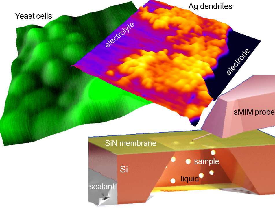NIST and ORNL scientists have devised a near-field microwave imaging approach to capture images of nanoscale processes under natural conditions. As the tip of an atomic force microscope scans over an ultrathin membrane it emits near-field microwaves into the sample below. Shown are images of yeast cells and silver dendrites that formed on an electrode during electroplating. Credit: Kolmakov/CNST