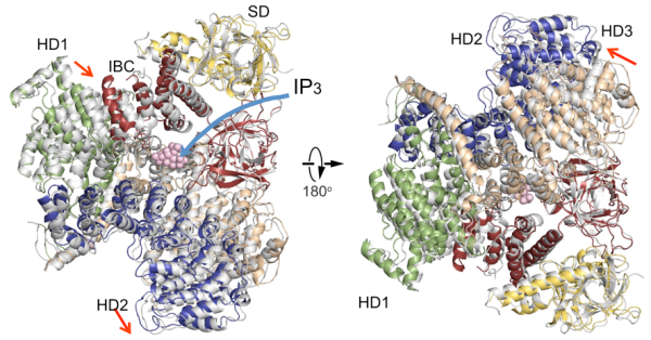Comparison of IP3R cytosolic domain structures @ Riken