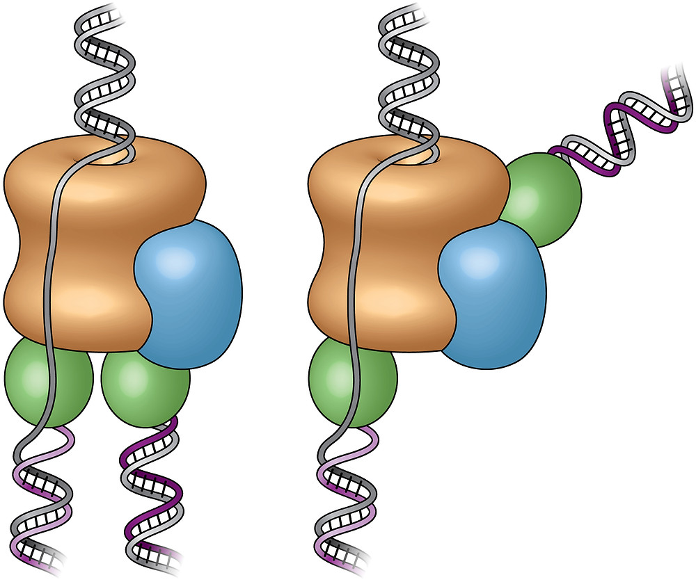 """These cartoons show the old """"textbook"""" view of the replisome, left, and the new view, right, revealed by electron micrograph images in the current study. Prior to this study, scientists believed the two polymerases (green) were located at the bottom (or back end) of the helicase (tan), adding complementary DNA strands to the split DNA to produce copies side by side. The new images reveal that one polymerase is located at the front end of the helicase. The scientists are conducting additional studies to explore the biological significance of this unexpected location."""
