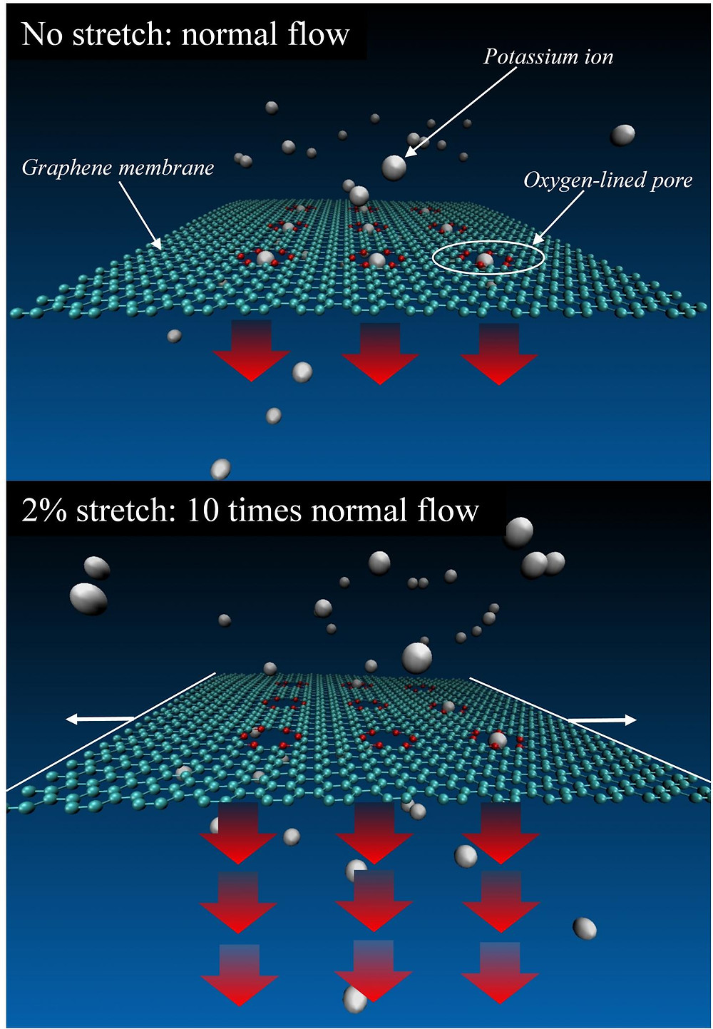 NIST researchers carried out simulations of a graphene membrane featuring oxygen-lined pores and immersed in a liquid solution of potassium ions (charged atoms), which under certain conditions can be trapped in the pores. Slight stretching of the graphene greatly increases the flow of ions through the pores.  @ NIST