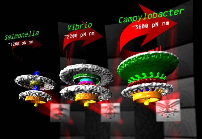 The motors of three bacteria. Units of torque are piconewton nanometres (pN nm)