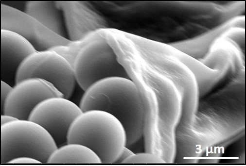 Scanning electron microscopy image illustrating microbead attachment to cilia and accumulation beneath the rotifers mouth @ UCSD