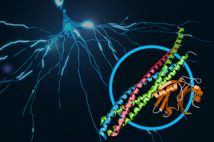 his illustration shows a protein complex at work in brain signaling. It contains two joined protein complexes: SNARE, shown in blue, red, and green, and synaptotagmin-1, shown in orange. The combined complex is responsible for the calcium-triggered release of neurotransmitters from our brain's nerve cells in a process called synaptic vesicle fusion. In the background, electrical signals travel through a neuron. (SLAC National Accelerator Laboratory)