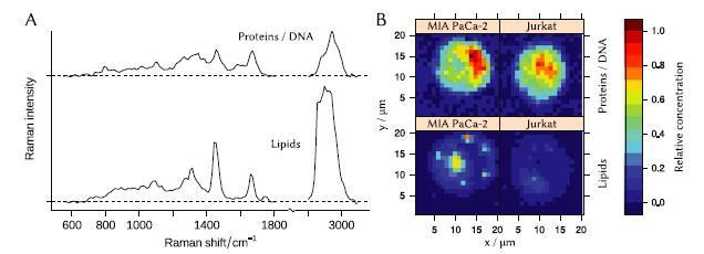 N-FINDR end-members that represent spectra of lipid and protein/DNA mixture. (B) - concentration maps of the end-members in cells of Jurkat and MIA PaCa-2 cell lines. @ Biomedical Spectroscopy and Imaging