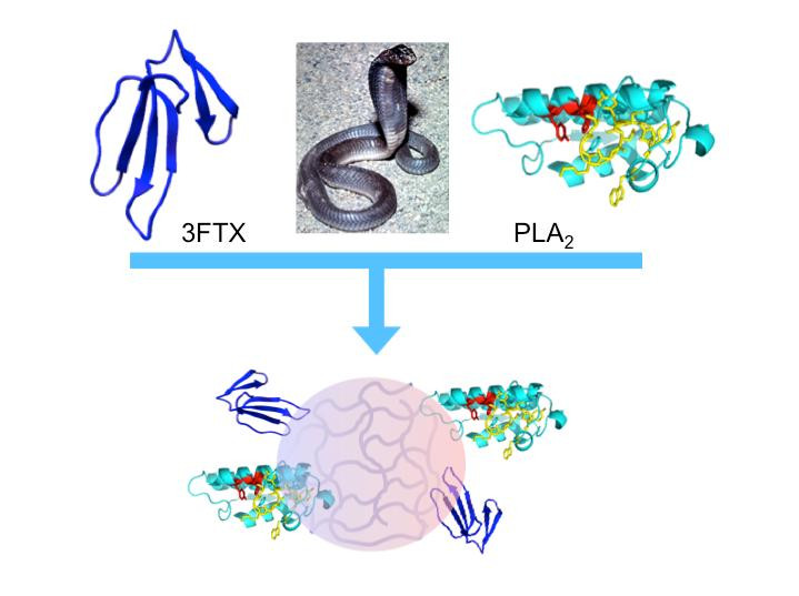"""""""Synthetic polymer nanoparticles bind elapid snake venom toxins and inhibit venom-induced dermonecrosis.""""  @ Shea, et al."""