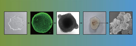 Differentiation of human embryonic stem cells in a step wise protocol into human midbrain organoids that contain neuromelanin. Copyright: A*STAR's Genome Institute of Singapore