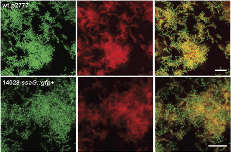 Visualisation of ECM components in biofilms formed by S. Enteritidis and S. Typhimurium in the presence of h-FTAA.