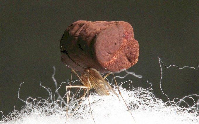 A mosquito standing on cotton fibers carries a sample of ultra-low density gold aerogel. Photos by Joshua DeOtte.