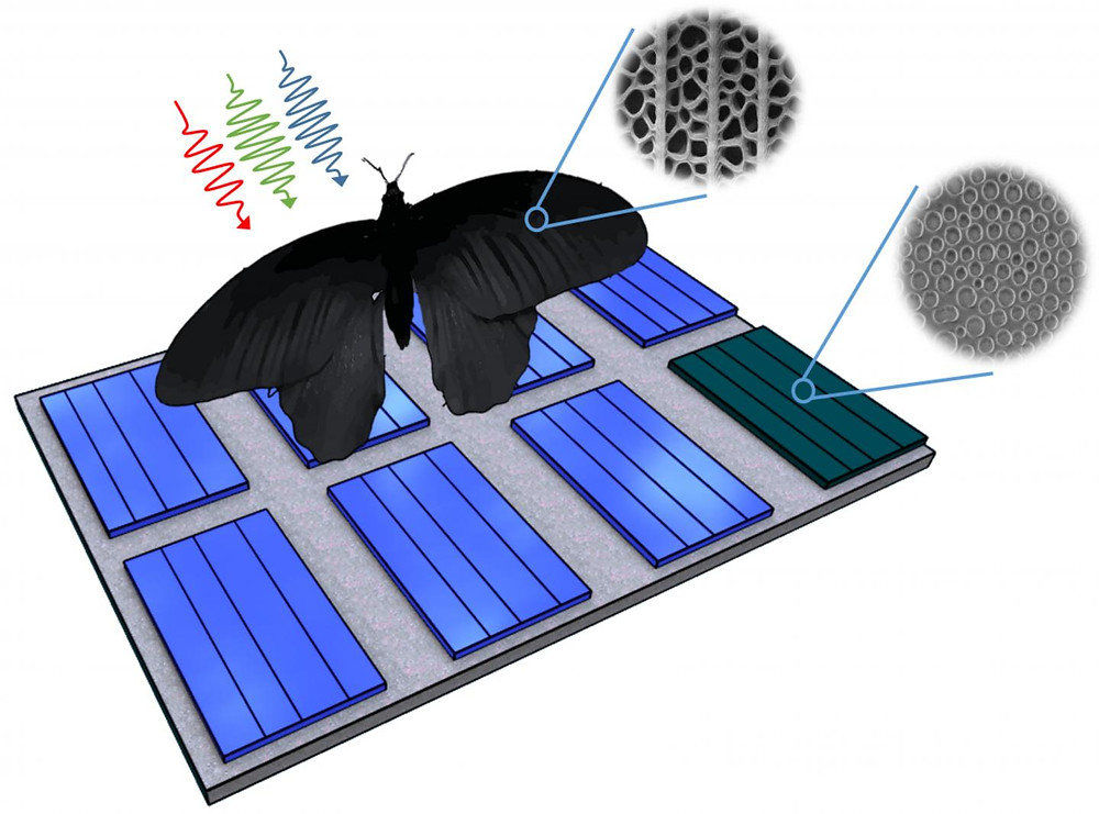 Nanostructures of the wing of Pachliopta aristolochiae can be transferred to solar cells and enhance their absorption rates by up to 200 percent. @ Graphics: Radwanul H. Siddique, KIT/Caltech)