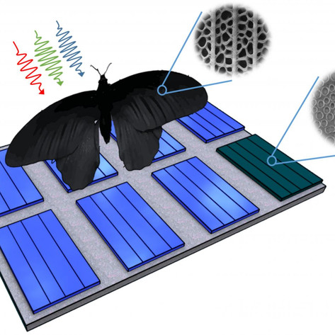 Butterfly wing inspires photovoltaics: Light absorption can be enhanced by up to 200 percent