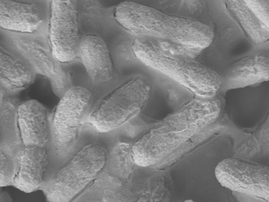 A microscopic image of the E. coli bacteria. © Institute of Bioengineering and Nanotechnology