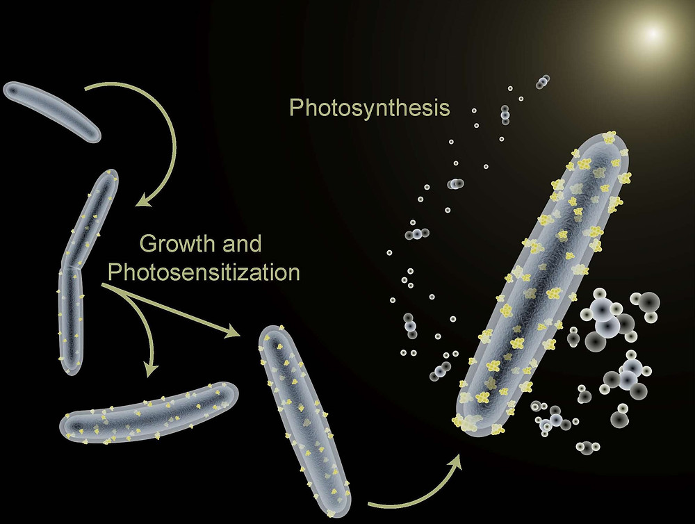 The bacterium Moorella thermoacetica is being used to perform photosynthesis in a hybrid artificial photosynthesis system for converting sunlight into valuable chemical products.