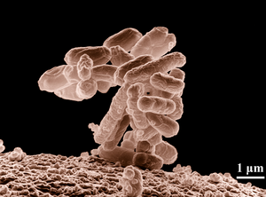 Bacteriotherapy.PNG