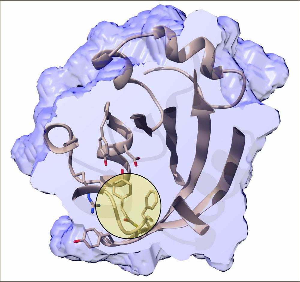 Inner structure of the photactive yellow protein 800 femtoseconds after the trans-to-cis isomerisation has been initiated by an ultrafast blue laser. The chromophore binding pocket is cut open and the chromophore itself is highlighted by the bulls eye. Credit: Marius Schmidt/University of Wisconsin-Milwaukee
