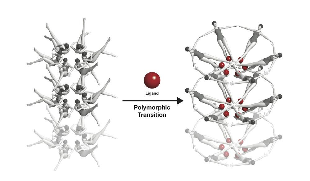 The riboswitche's conformational change, symbolised with swimmers: When a riboswitch meets a ligand (red), it changes its form. Credit: Joseph Meyer, National Cancer Institute