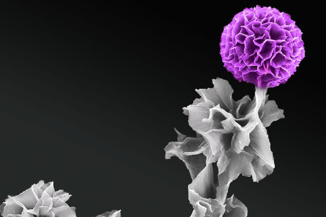 In full bloom: A scanning electron microscopy image produced by Jessica Wang of a vertical tetraanaline semiconductor crystal