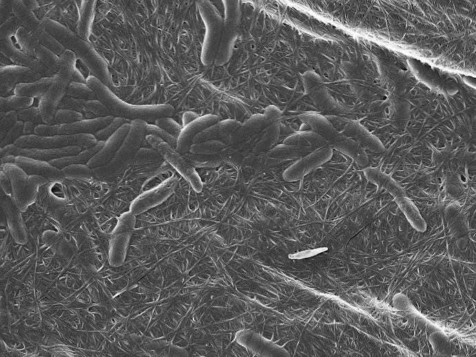 Rod-shaped bacteria produce cellulose, recognizable as a thread-like structures. @ Laboratory for complex materials / ETH Zurich