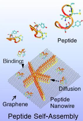 This is a depiction of peptides self-assembling into nanowires on a 2-D surface of the semimetal graphene. @ Mehmet Sarikaya/Scientific Reports