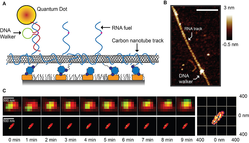 """A new type of """"super-resolution"""" microscopy has allowed researchers at Purdue University to determine the walking mechanism behind a DNA walking system that could find biomedical and industrial applications. The walker (A) travels along a carbon-nanotube track """"decorated"""" with strands of RNA fuel, which it harvests for energy. An atomic force microscope image (B) shows the DNA walker attached to this track. At bottom are raw images taken with the super-resolution microscope showing the DNA walker (green) traveling along the track (red). (Purdue University image/Jing Pan)"""