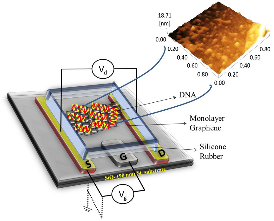 Schematic of a graphene-based field-effect transistor (left) and an atomic force microscopy image of graphene covered with single-stranded probe DNA (right).