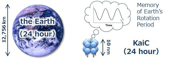 This image shows Earth and the circadian clock protein KaiC.