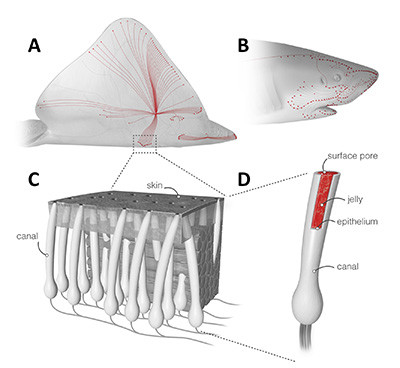 Ampullae of Lorenzini: (A and B) Skates and sharks locate their prey by detecting the weak electric fields naturally generated by biomechanical activity. (C) A network of electrosensory organs called the ampullae of Lorenzini is responsible for this sense. (D) An individual ampulla consists of a surface pore connected to a set of electrosensory cells by a long jelly-filled canal. Sharks and skates can sense fields as small as 5 nV/cm despite canals traveling through up to 25 cm of noisy biological tissue. (Images by Luk Cox)