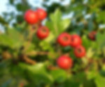 Hawthorn berries at Forest School