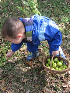 gathering apples at Forest School