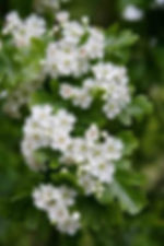 hawthorn flowers at Forest School