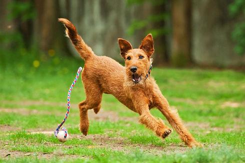 Irish terrier playing with ball.jpg