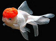 Exotic Goldfish - Lionheads, Oranda & Black Moor Fish for Sale | Pond Professors
