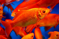 Goldfish - Pond & Water Garden Fish for Sale | Pond Professors