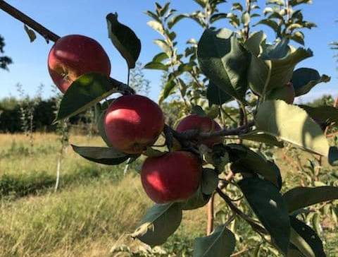 First crop of European and Heritage Apples