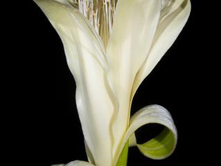 Australia's lonely boab (Adansonia gregorii)