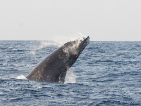 Whale Watching in Okinawa, クジラのシーズンですね