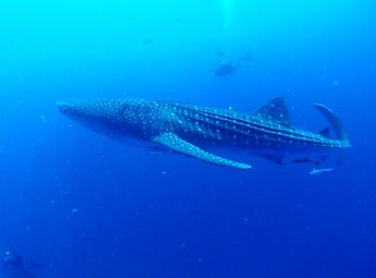 snorkeling with whale shark